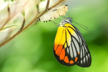 50957377 - beautiful butterfly emerges from a cocoon